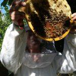 Waben in der Bienenkugel